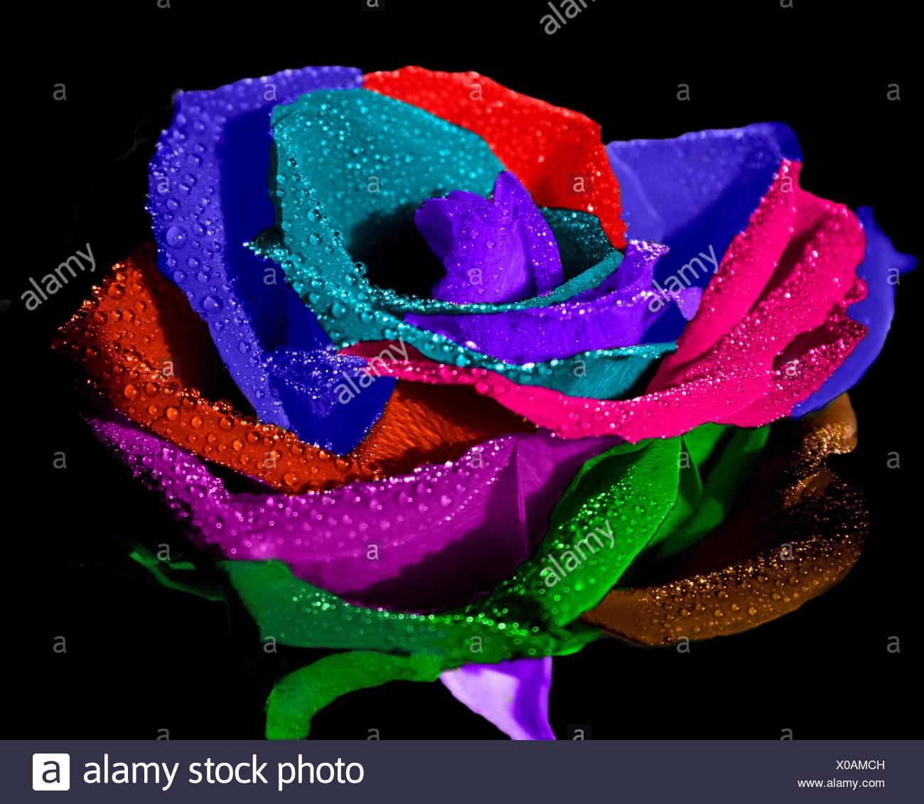 pop art rose - Stock Image