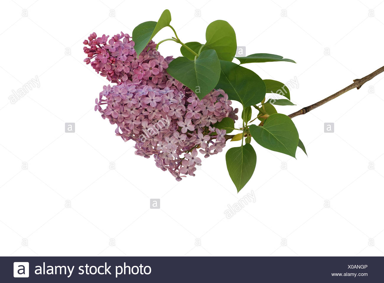 lilac isolated on white - Stock Image