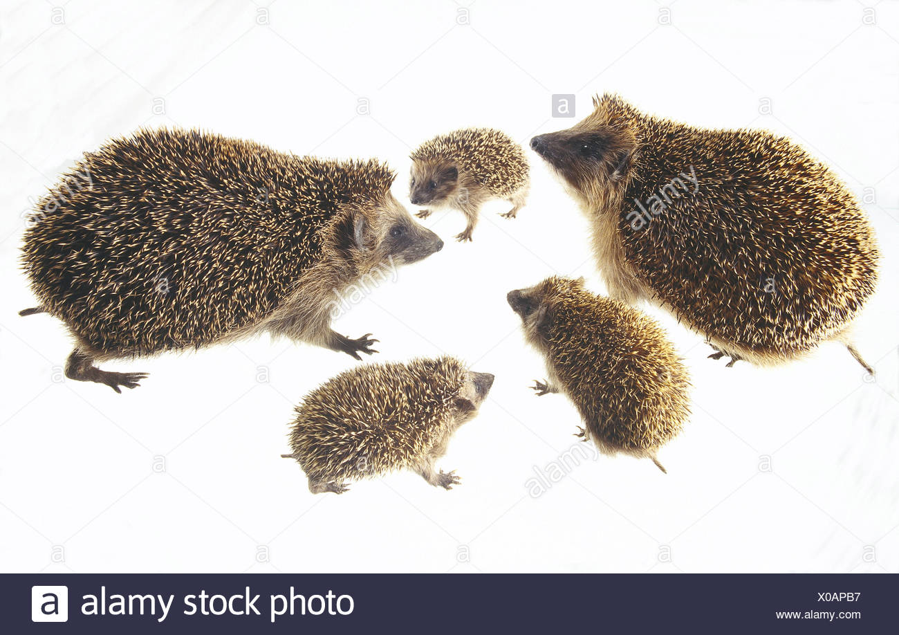 European hedgehogs, Erinaceus europaeus, group wild animals, mammals, insectivores, Erinaceidae, sting hedgehog, pest exterminator, nocturnal, hedgehog's family, parental animals, young animals, stings, studio, cut out - Stock Image