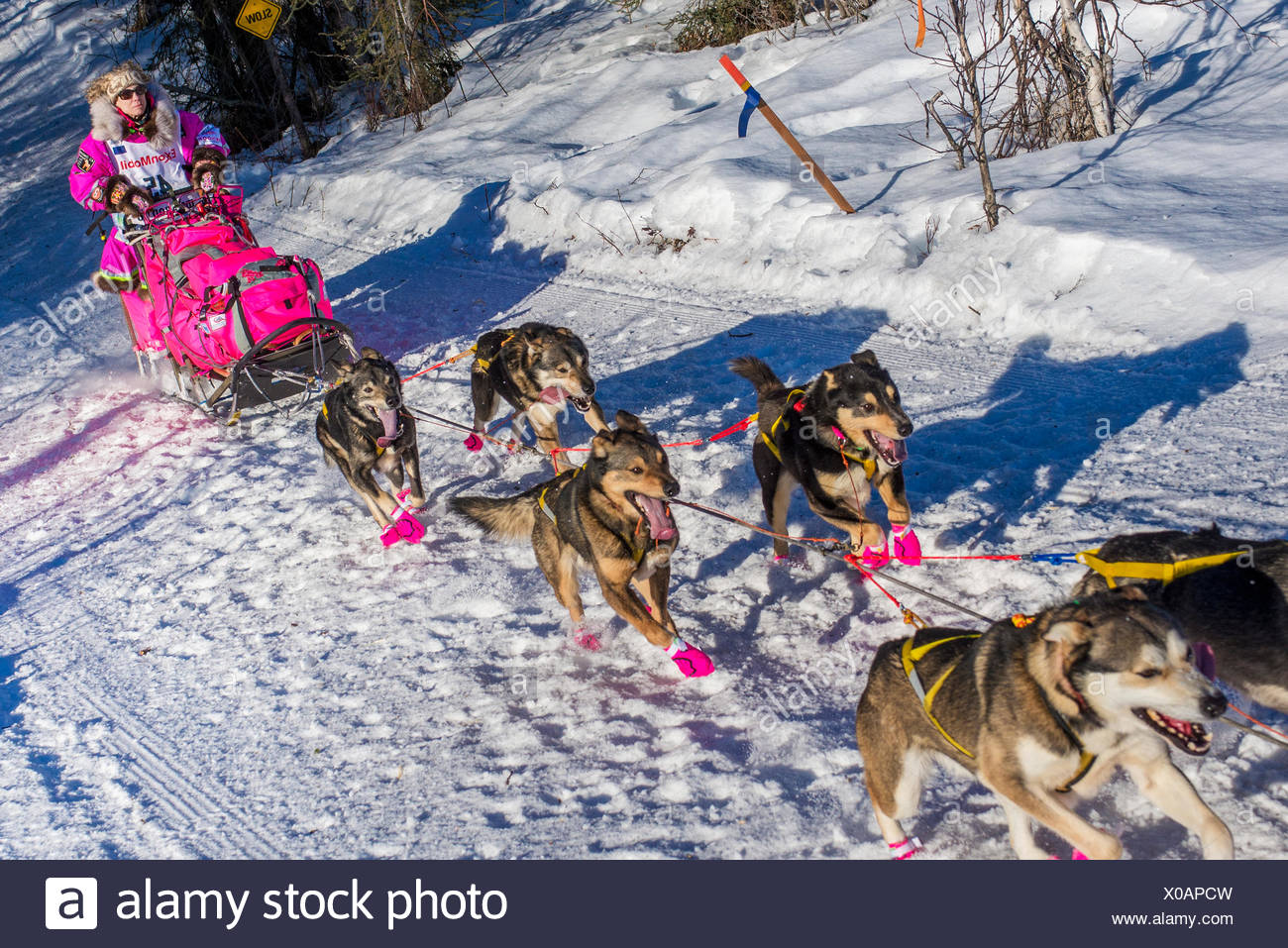 DeeDee Jonrowe and team run down the trail on Long Lake shortly after leaving the re-start in Willow, Alaska during the 2016 Iditarod - Stock Image
