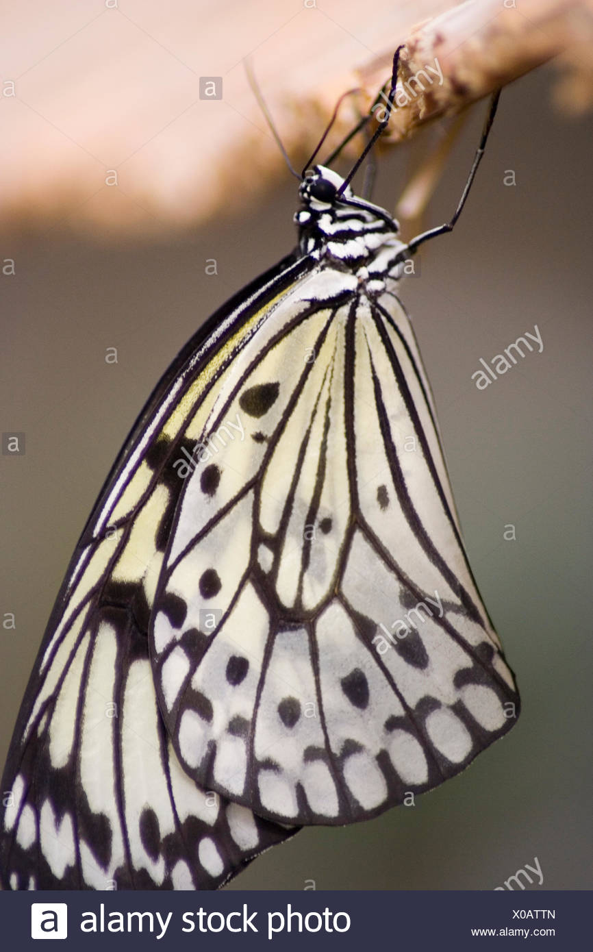 butterfly dapper accosting pretty prettily prettier ravishing attractive moth - Stock Image