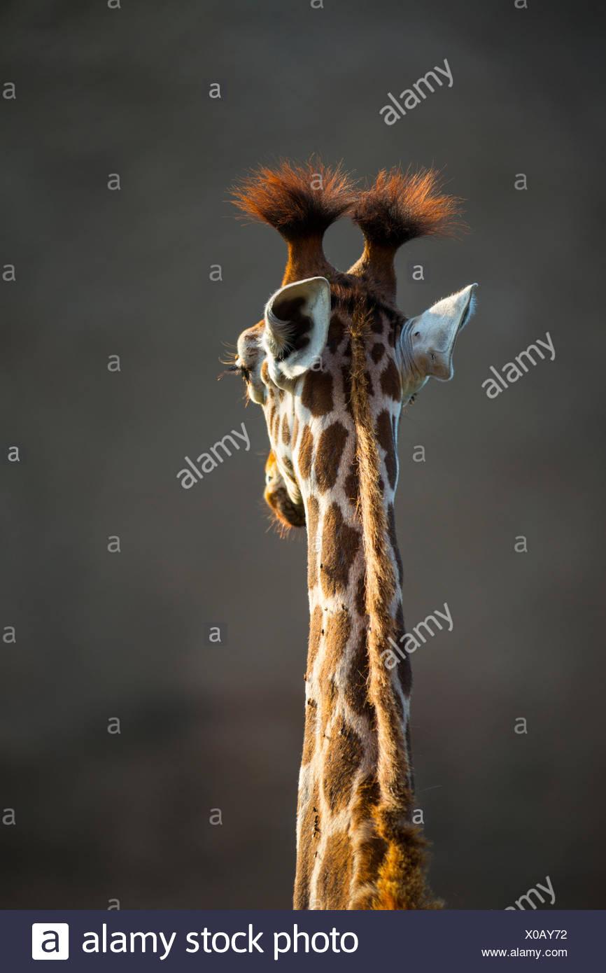 Portrait of Rothschild's Giraffe - Stock Image