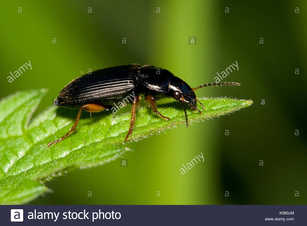 Vinegar Sprayer (Anisodactylus binotatus spurcaticornis), on a leaf, Germany - Stock Image