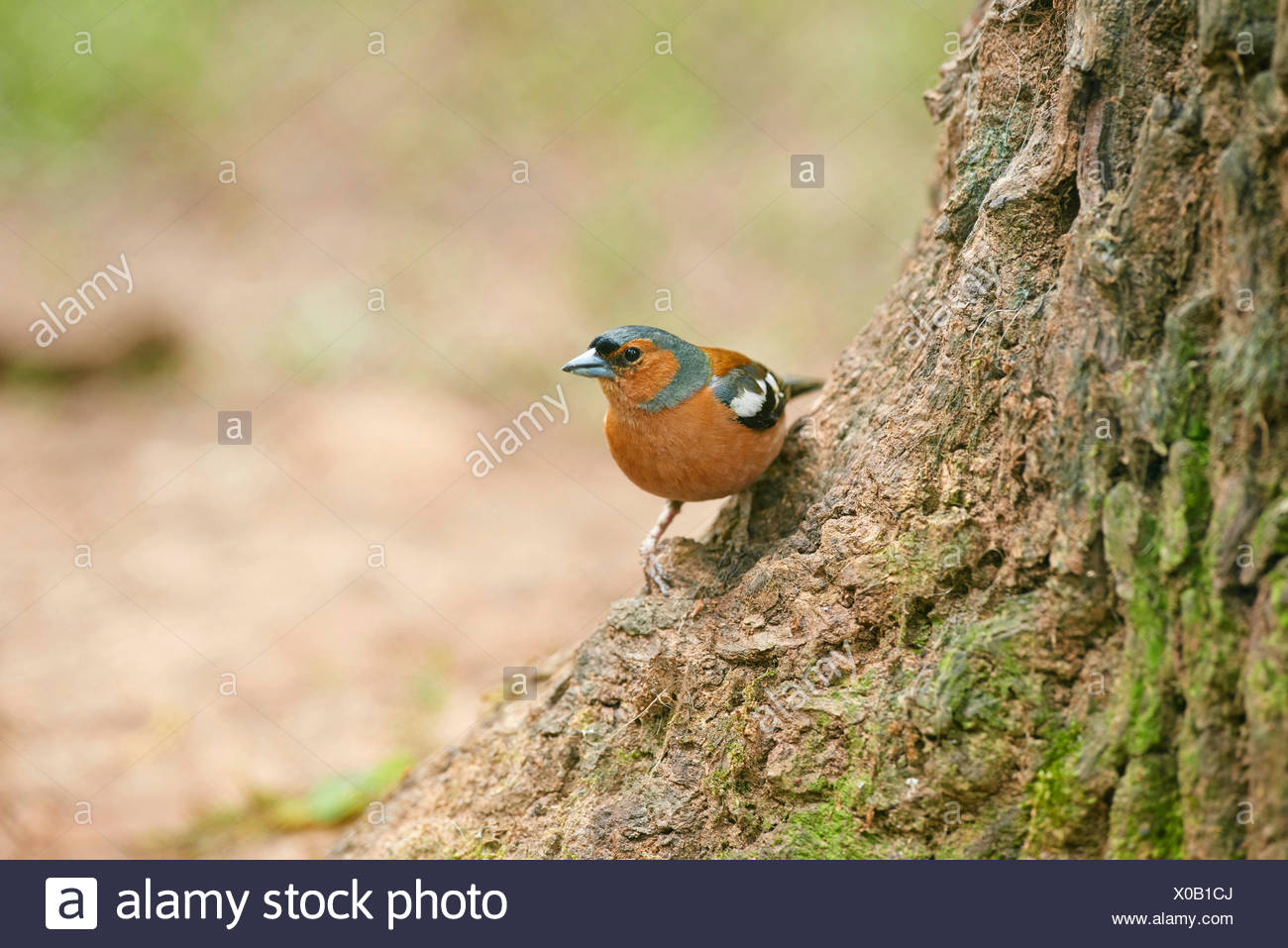 chaffinch (Fringilla coelebs), at a tree trunk, Germany, Bavaria - Stock Image