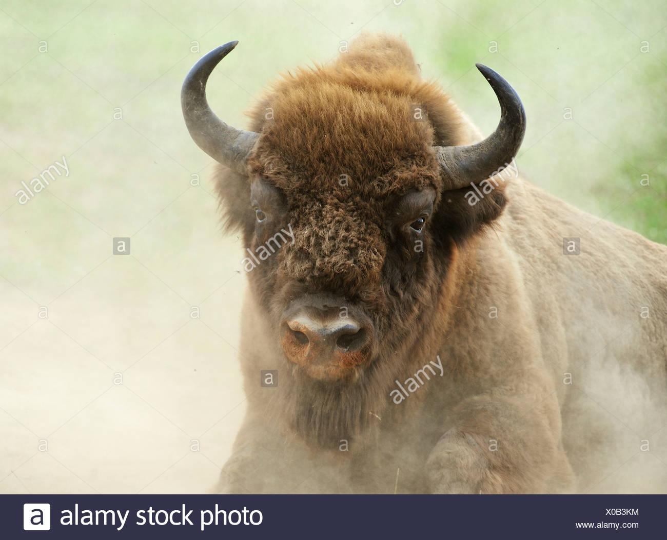 European Bison (Bison bonasus) in the whirling dust, Wisentgehege Hardehausen wildlife park - Stock Image