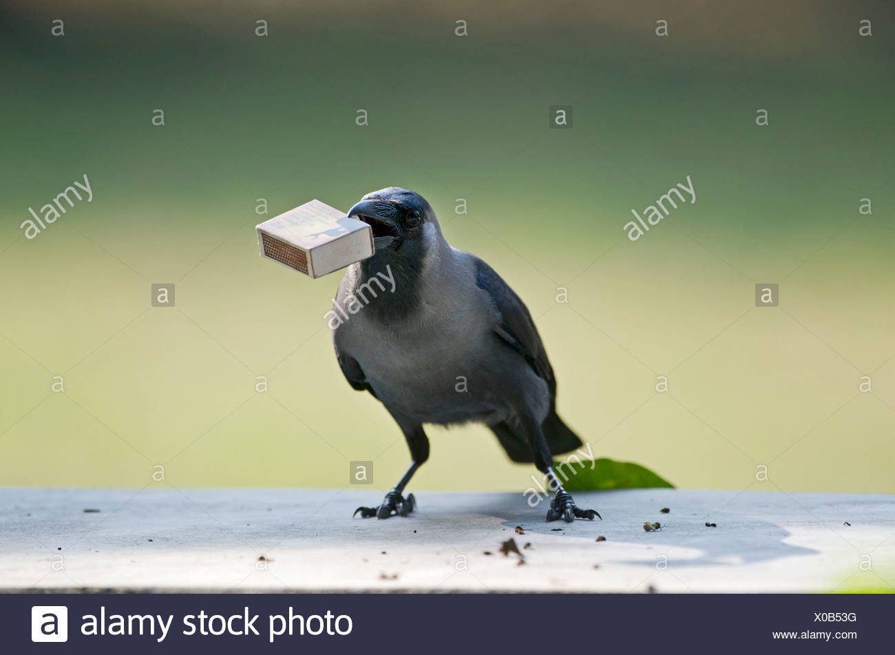 House Crow (Corvus splendens) stealing match box from table Bharatpur India Stock Photo