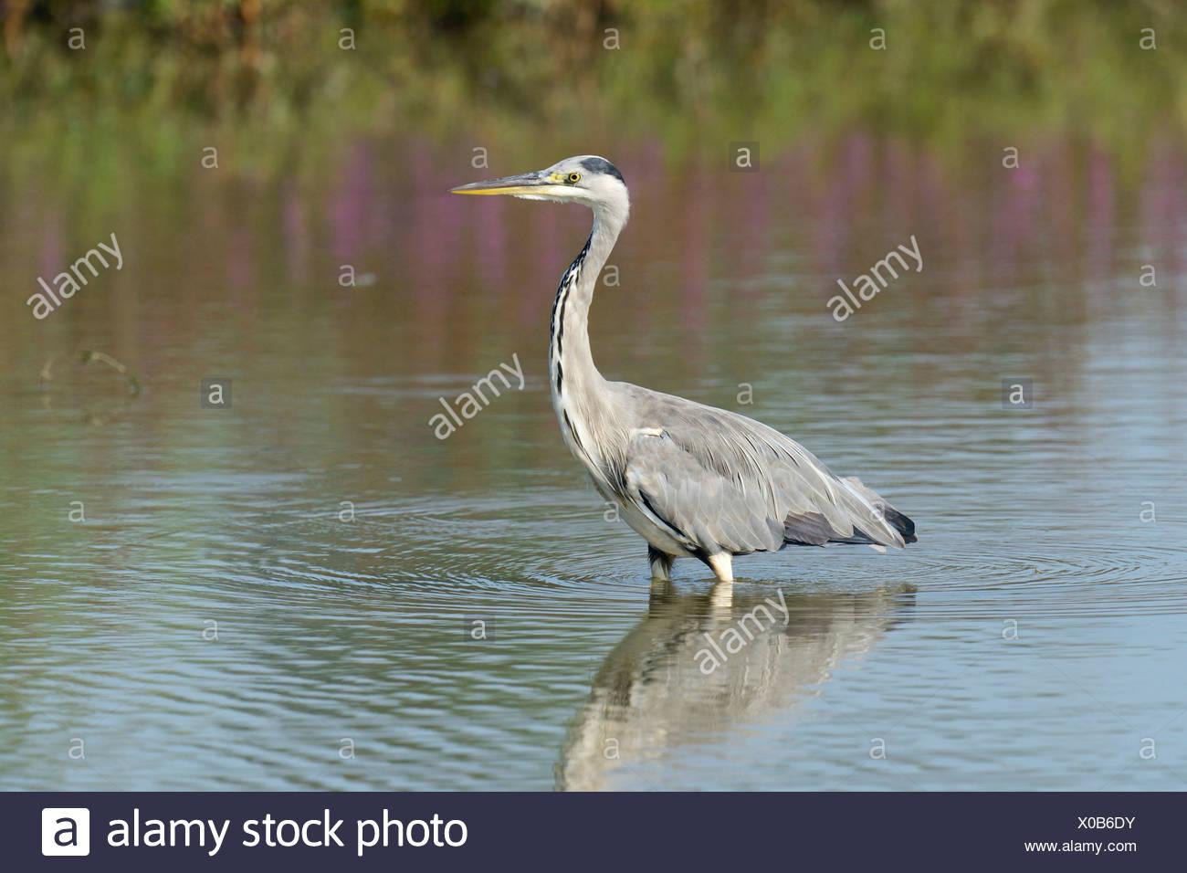 Grey Heron (Ardea cinerea), seeking fish, Maschwanden, Canton of Zurich, Switzerland - Stock Image