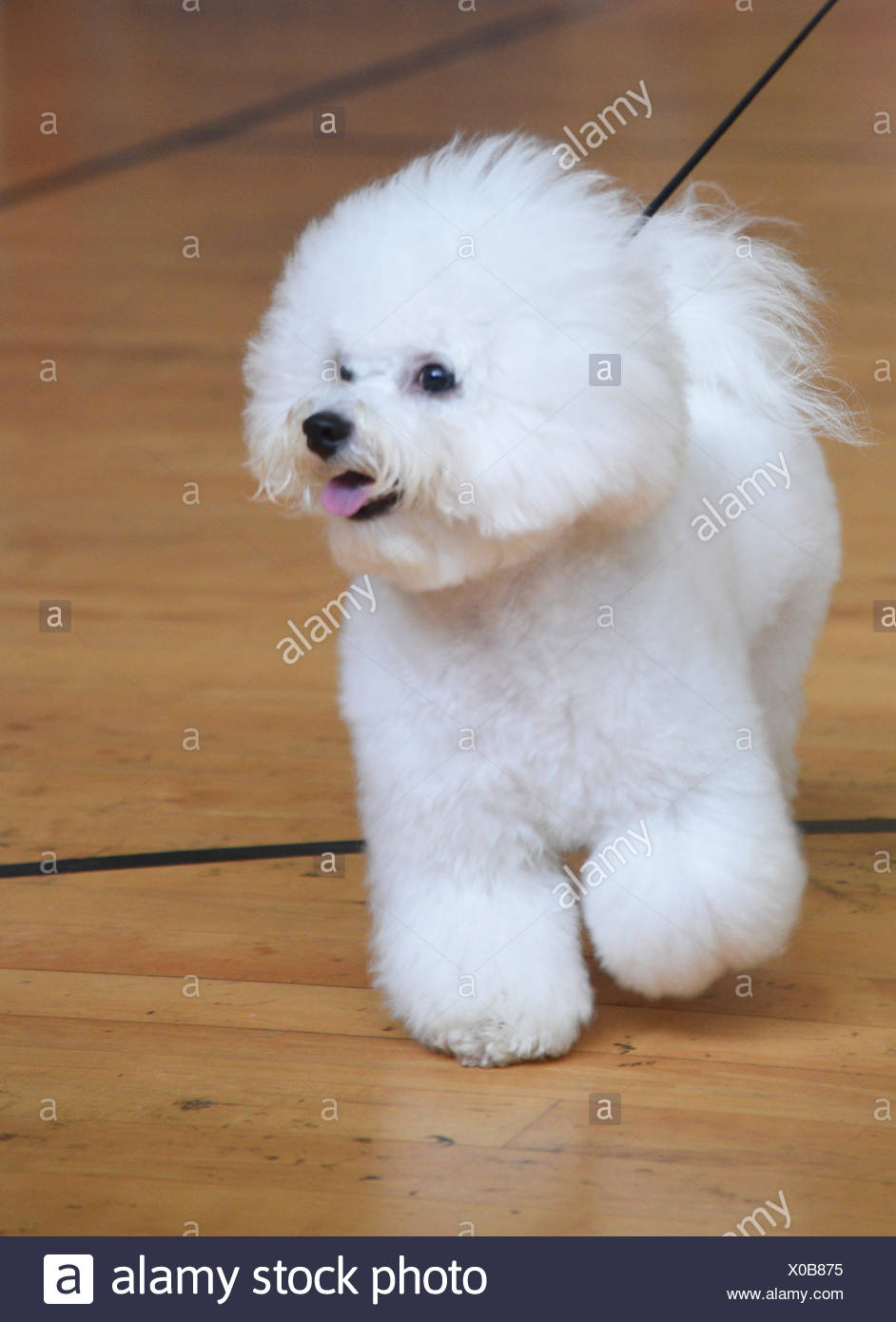 Bichon Frise (curly lap dog) is a small breed of dog of the Bichon type. The Bichon Frise is a member of the Non-Sporting Group of dog breeds in the U - Stock Image