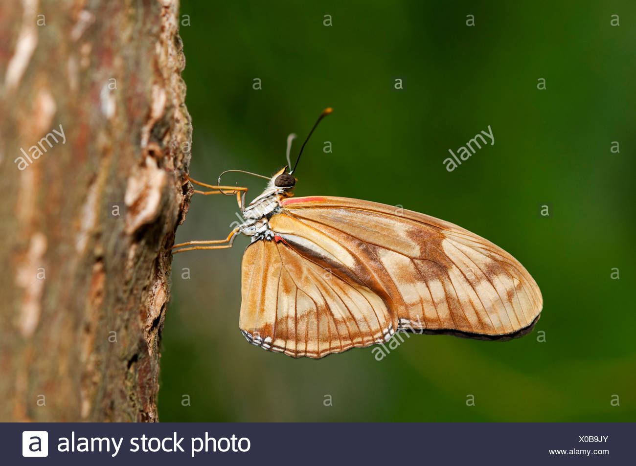 Julia Butterfly, Julia Heliconian or The Flame (Dryas iulia), just after hatching, the two proboscis halves are not yet - Stock Image