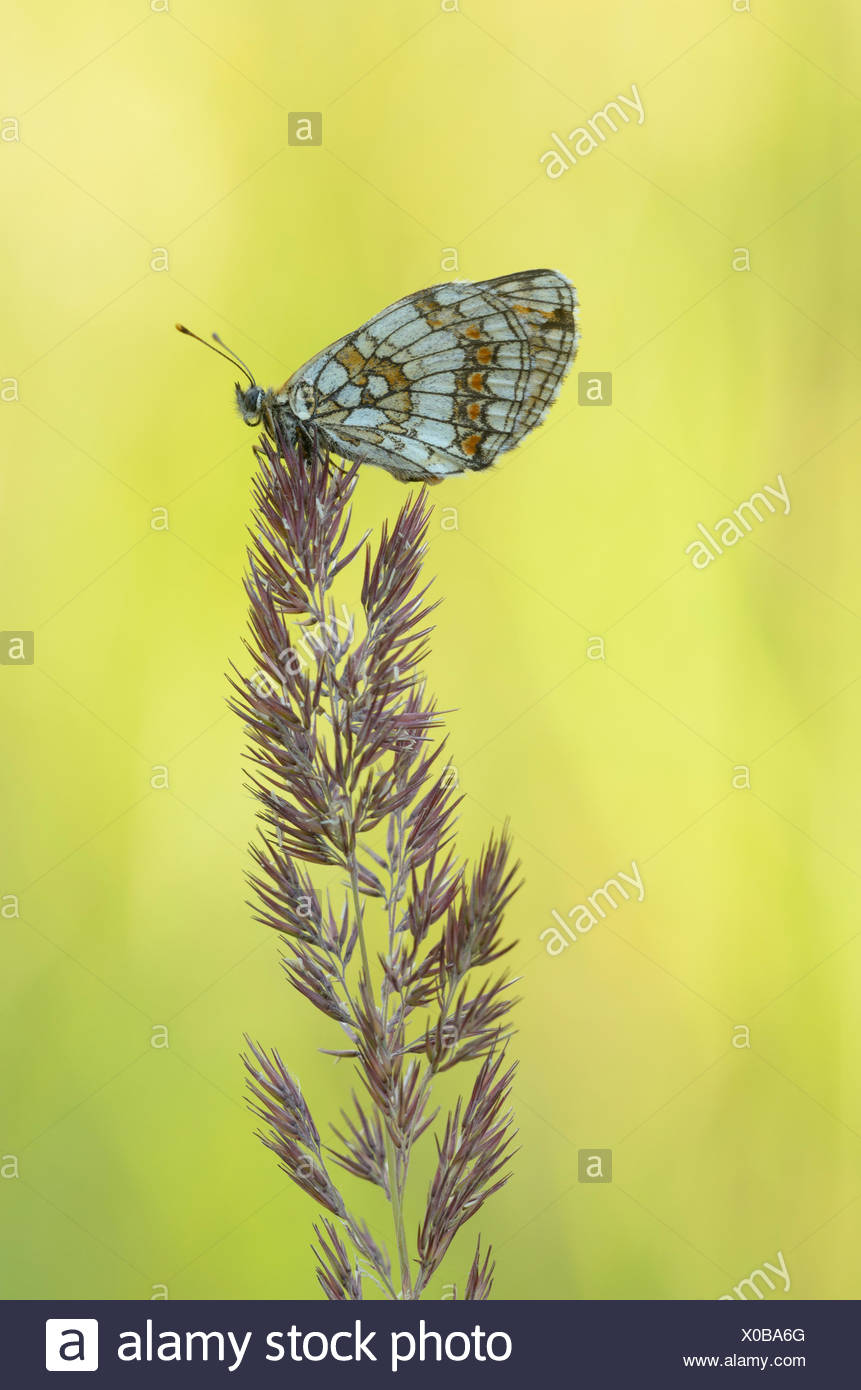Heath fritillary (Melitaea athalia) - Stock Image