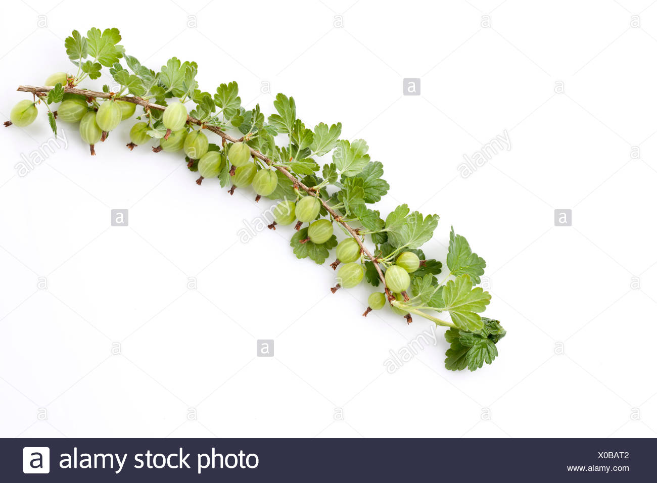 Gooseberry, Ribes uva-crispa, truss - Stock Image