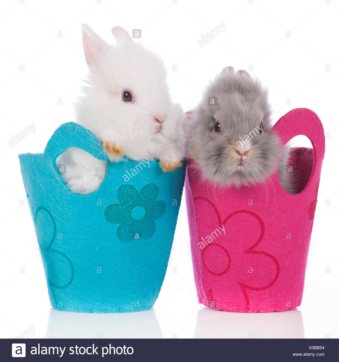 Dwarf Rabbit, Lionhead Rabbit Two individuals red and blue bags Studio picture against white background - Stock Image