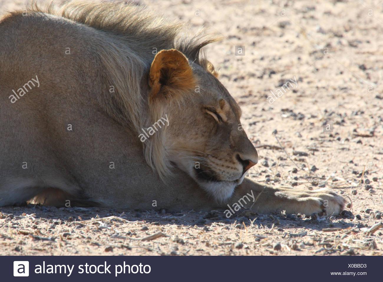 Lion, little man, sleeping, Lion, - Stock Image