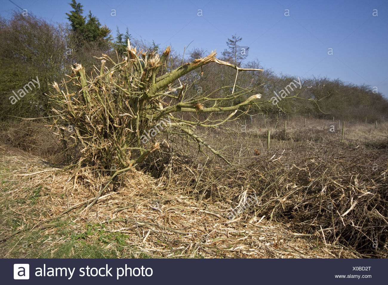 A very badly flailed hedge has done a lot of damage to this important habitat. - Stock Image