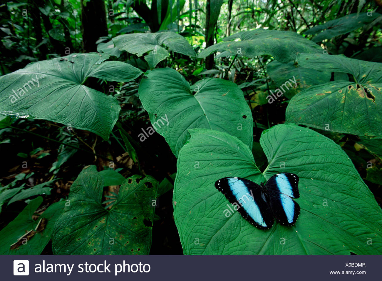 Morpho butterfly displaying on leaf (Morpho achilles). Amazonia, Ecuador. - Stock Image
