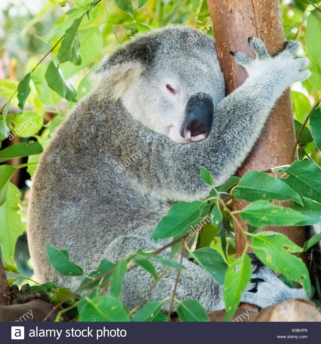 Koala sleeping in eucalypt tree - Stock Image
