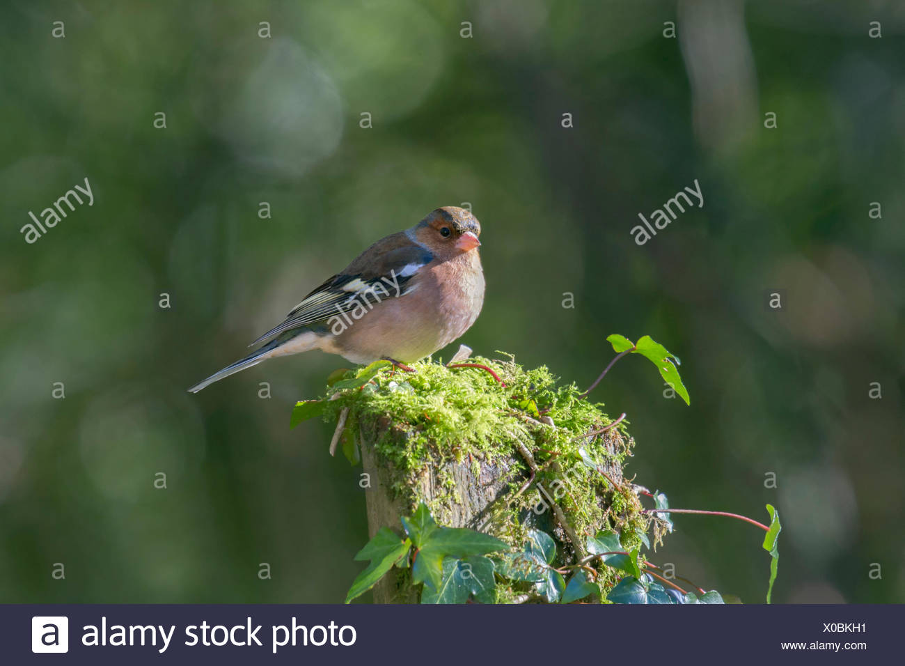 Common Chaffinch (Fringilla coelebs), South Wales, Wales, United Kingdom - Stock Image