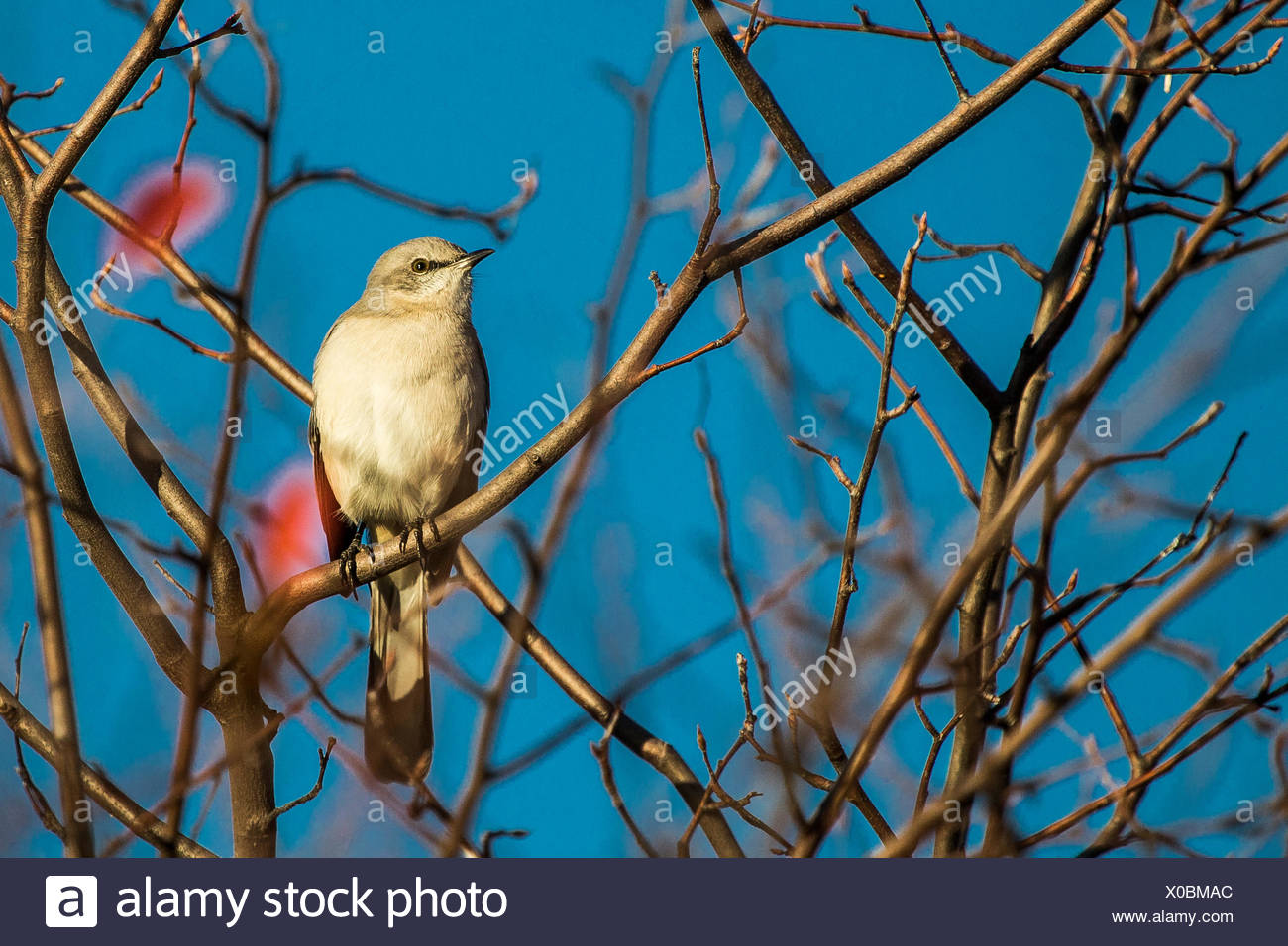 Portrait of a northern mockingbird, Mimus polyglottos, perched in a tree top. Stock Photo