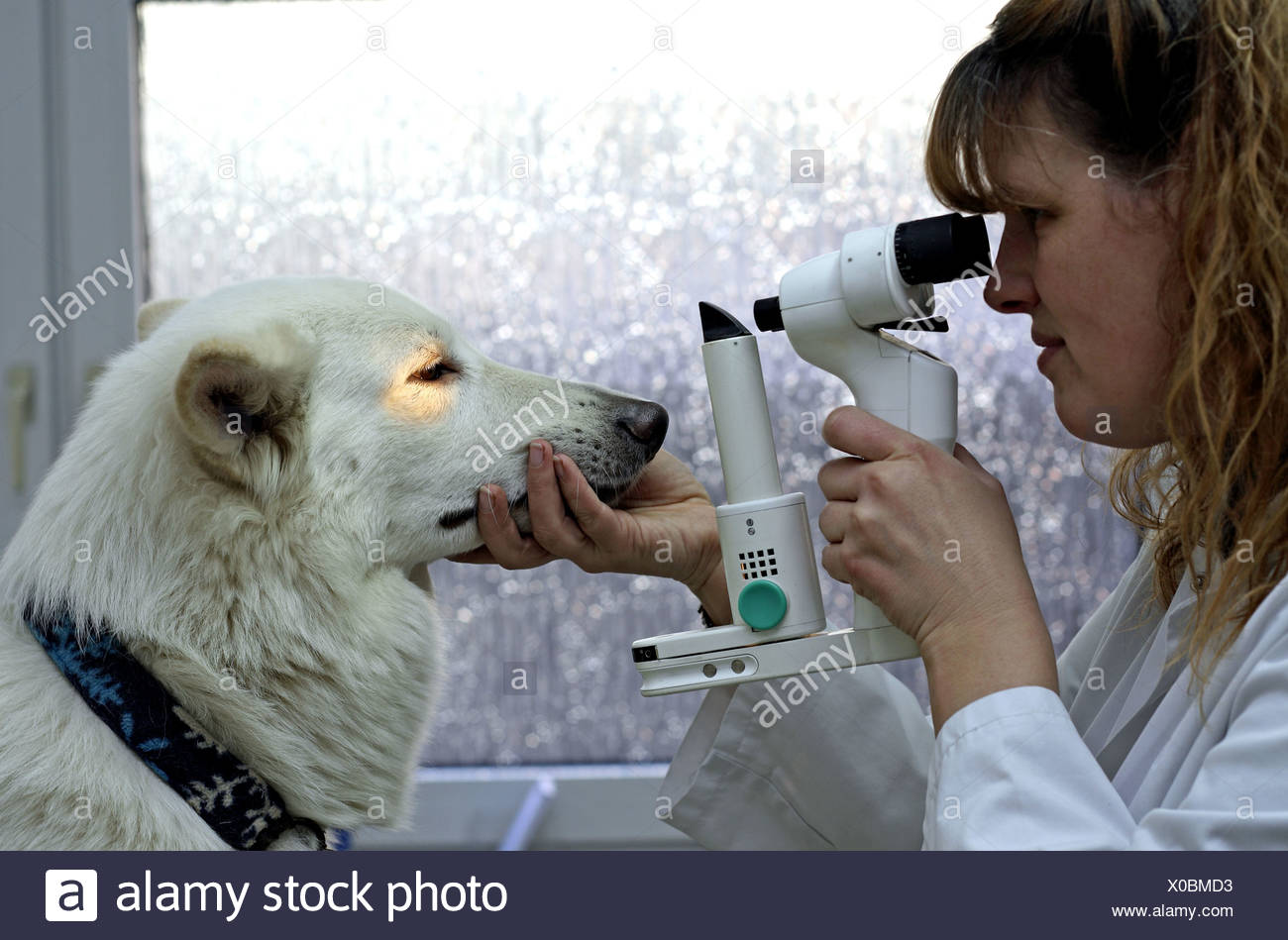 Berger Blanc Suisse (Canis lupus f. familiaris), veterinary checking eyes - Stock Image