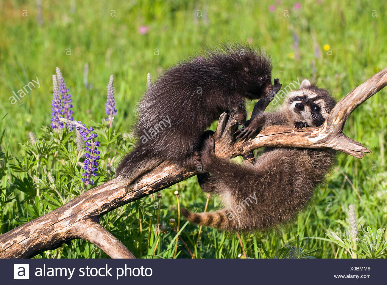 Baby raccoon and porcupine on branch Stock Photo