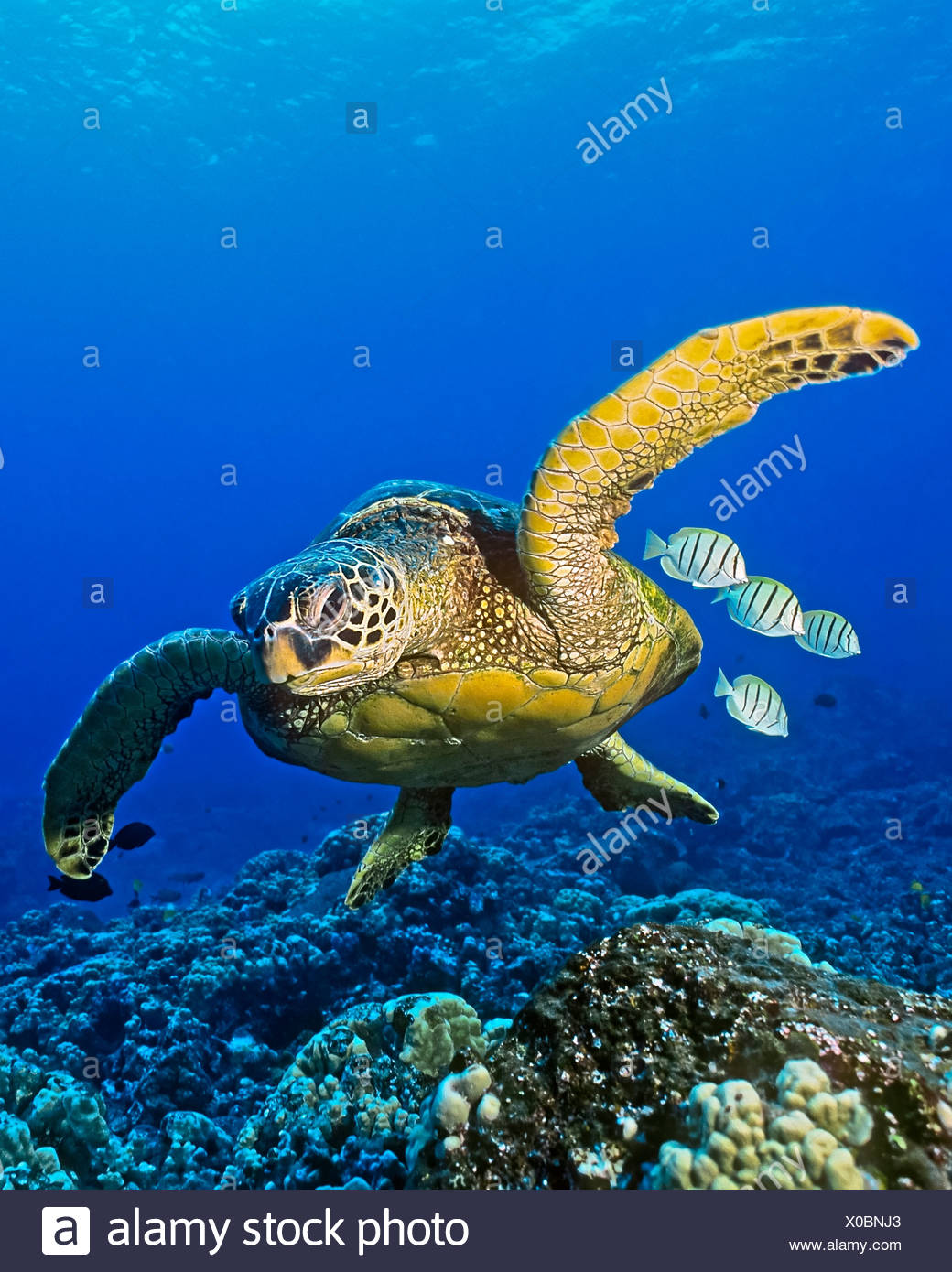 Green Sea Turtle, Chelonia mydas, Kona Coast, Big Island, Hawaii, USA - Stock Image