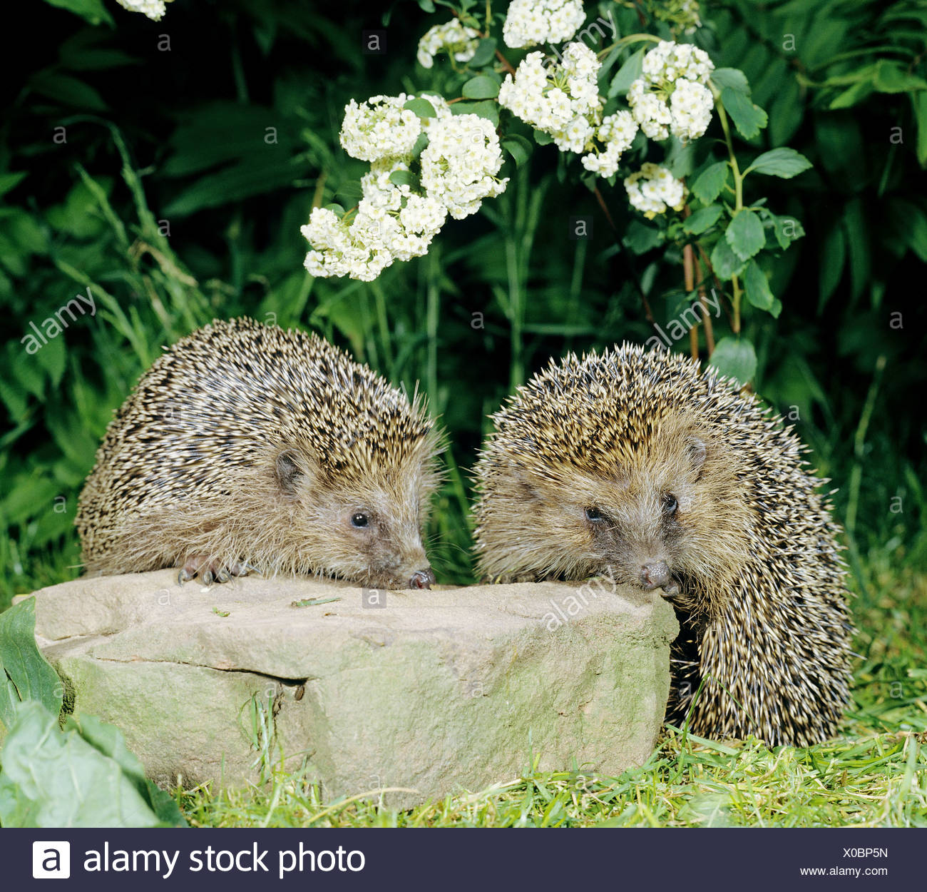 European Hedgehog, Western Hedgehog (Erinaceus europaeus). Mother and young on a rock - Stock Image
