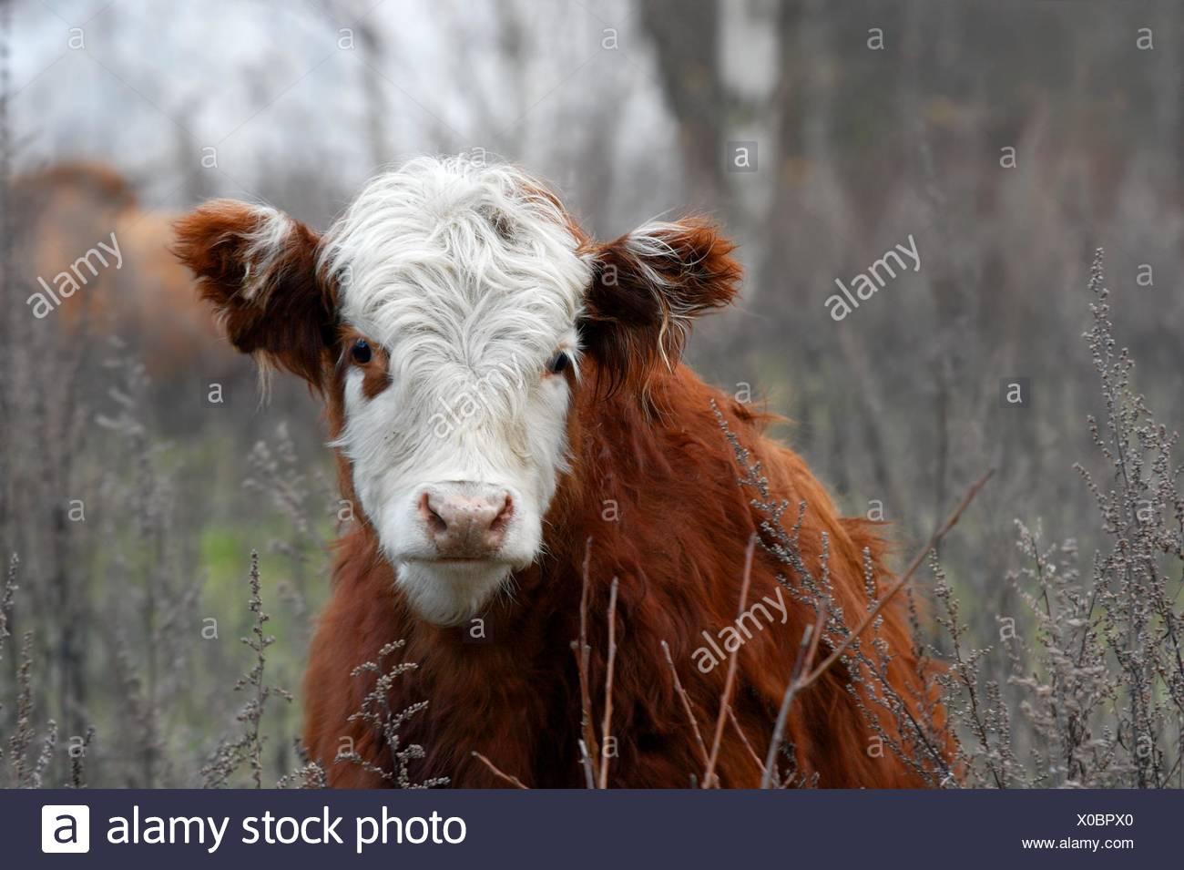 animal, mammal, brown, brownish, brunette, hairy, cow, beast ...