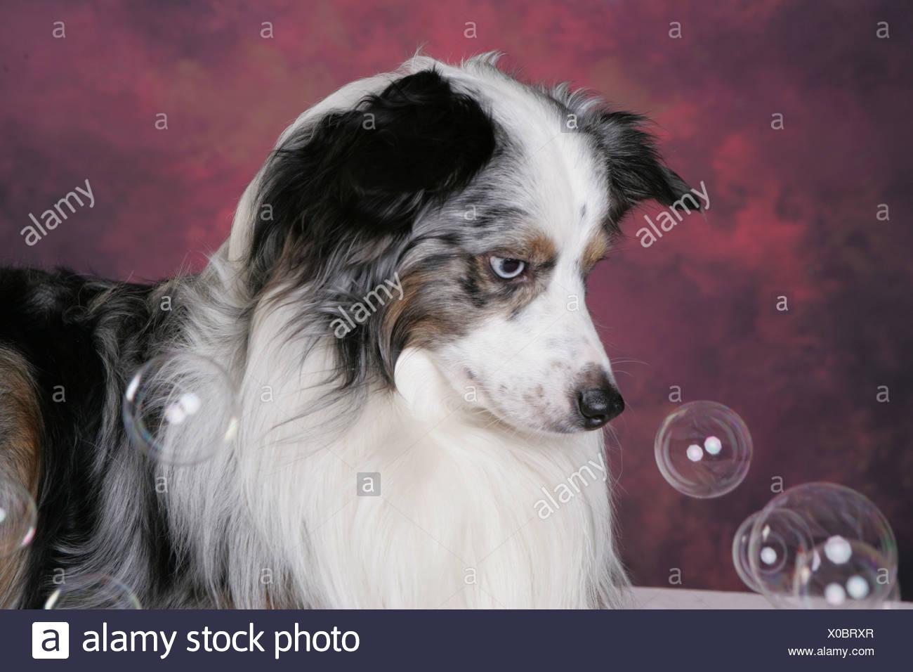 Miniature Australian Shepherd Portrait - Stock Image