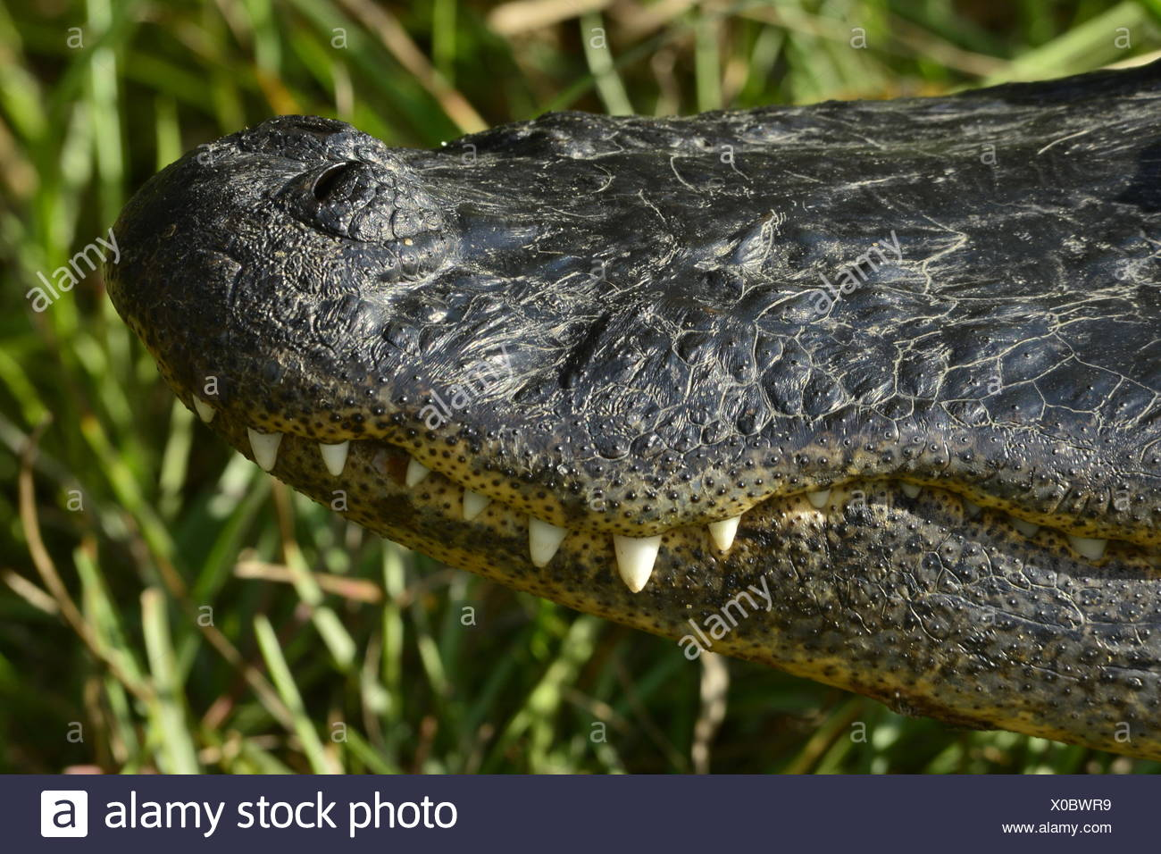 The snout and teeth of an American alligator. - Stock Image