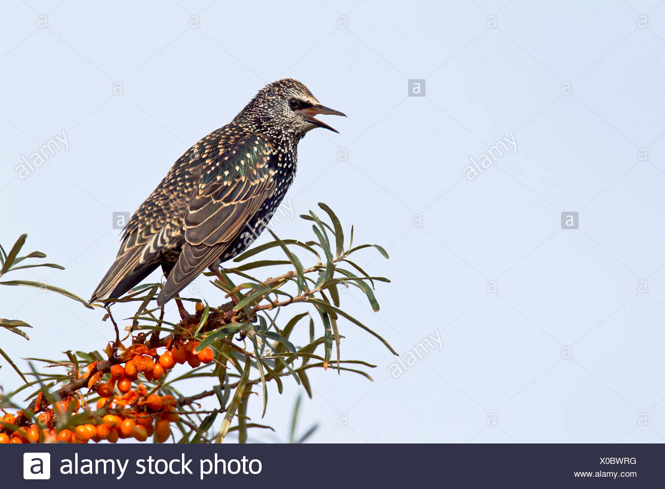 common starling (Sturnus vulgaris), sitting in a common seabuckthorn bush singing, Germany, Schleswig-Holstein, Speicherkoog Stock Photo