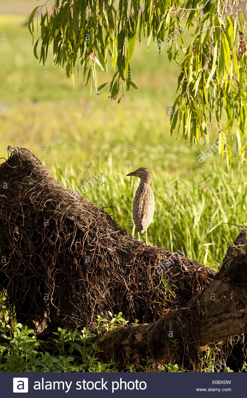 Very seldom Australasian bittern scout on a snag at the morning - Stock Image