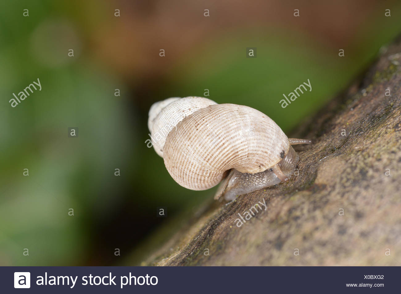 Round-mouthed Snail - Pomatias elegans - Stock Image