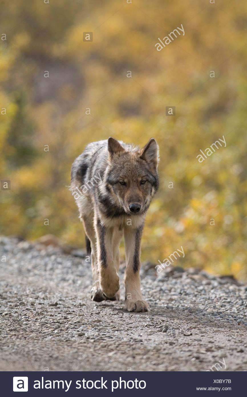 Wolf, Canis lupus, pup, autumn, walking on dirt road, Grant Creek pack, Denali National Park, Alaska, vertical, wild Stock Photo