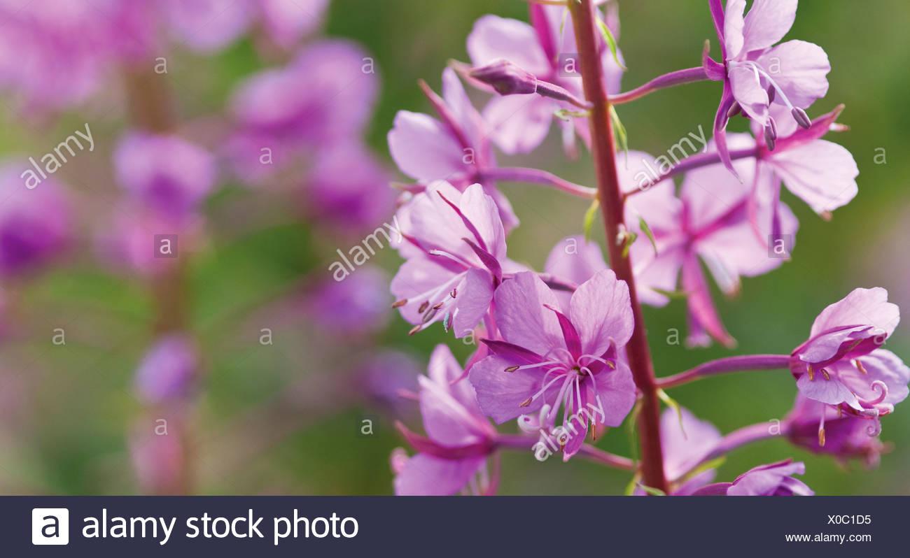 Chamerion augustifolium - Stock Image