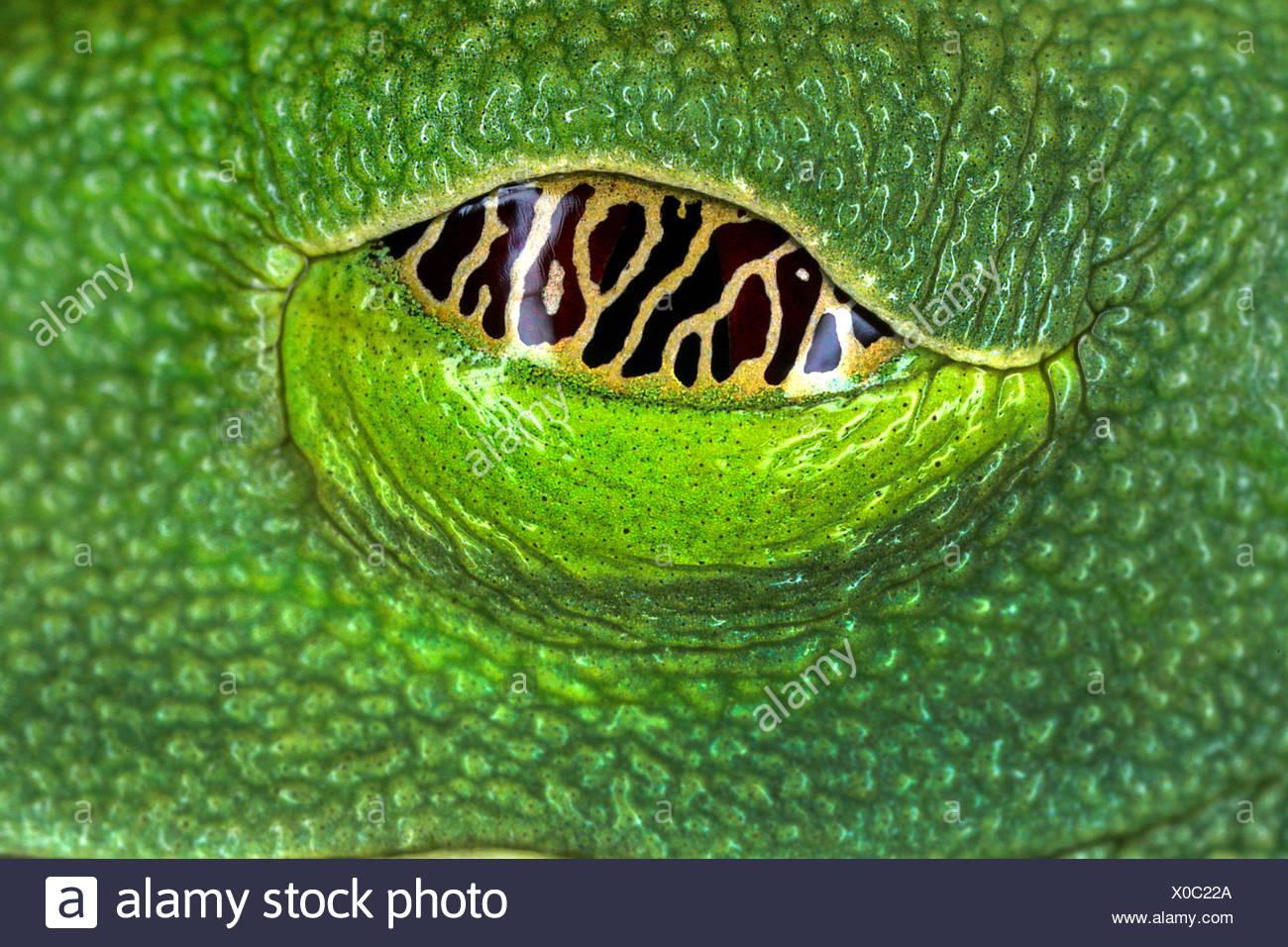 red-eyed treefrog, redeyed treefrog, redeye treefrog, red eye treefrog, red eyed frog (Agalychnis callidryas), eye, Seychelles Stock Photo