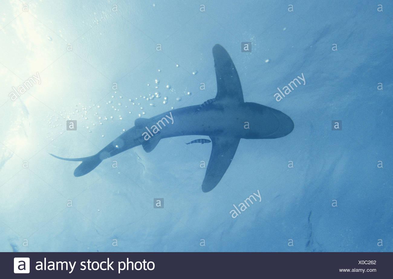 Weißspitzen Hochseehai Rotes Meer Hmata Aegypten Stock Photo