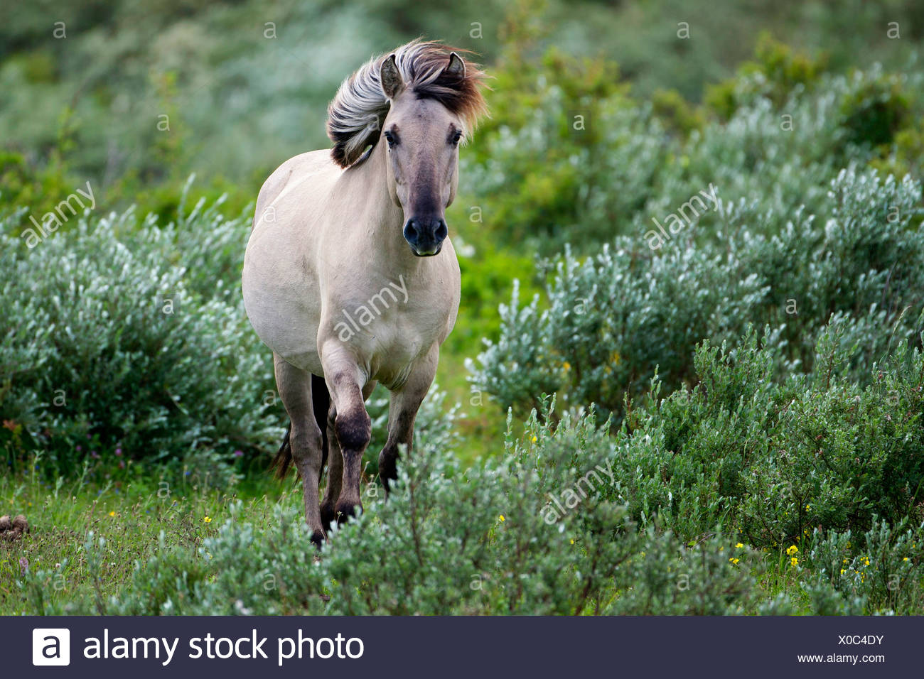 Konik horse (Equus przewalskii f. caballus), walking between shrubs, Belgium Stock Photo