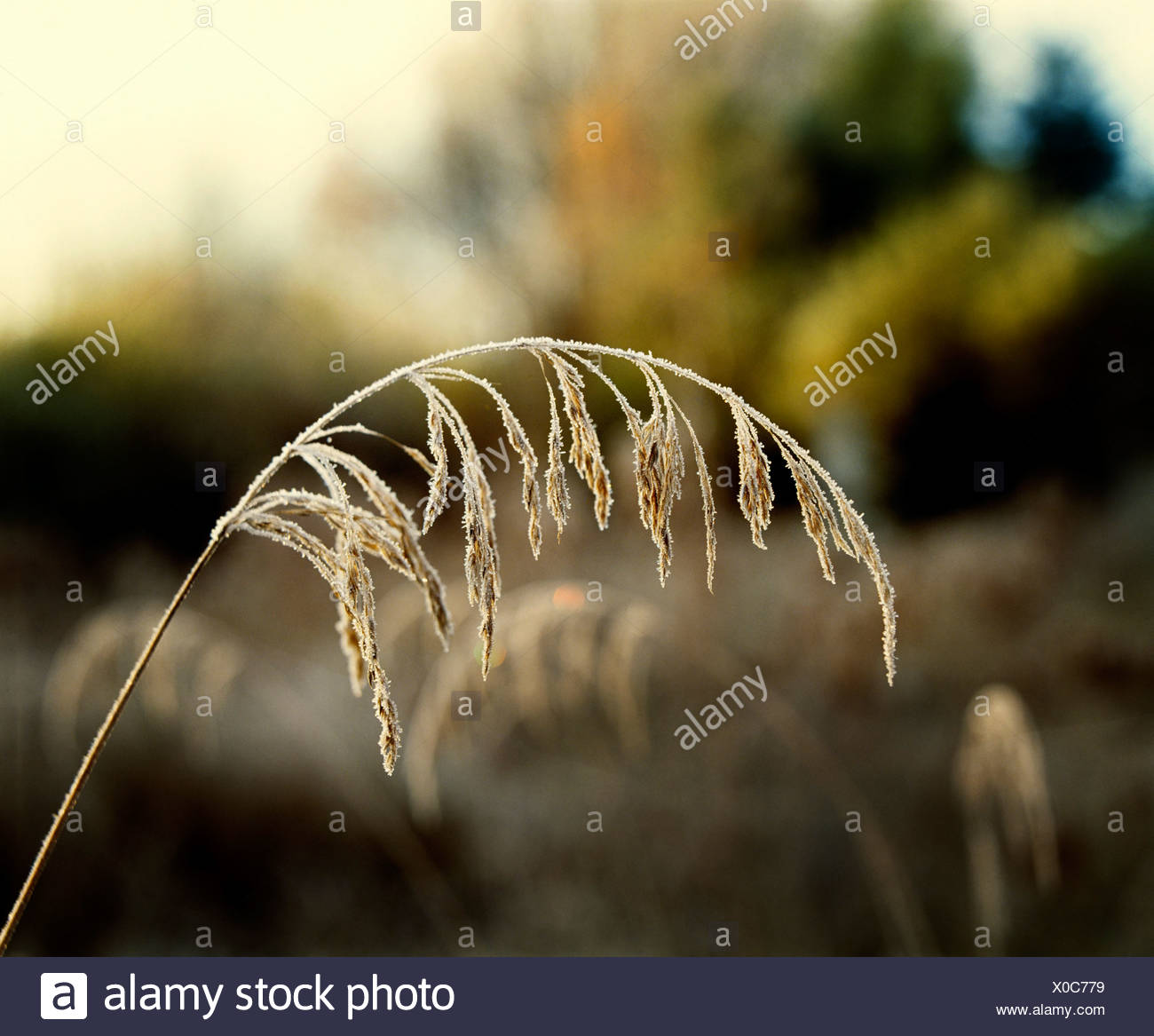 Frost on grains Stock Photo