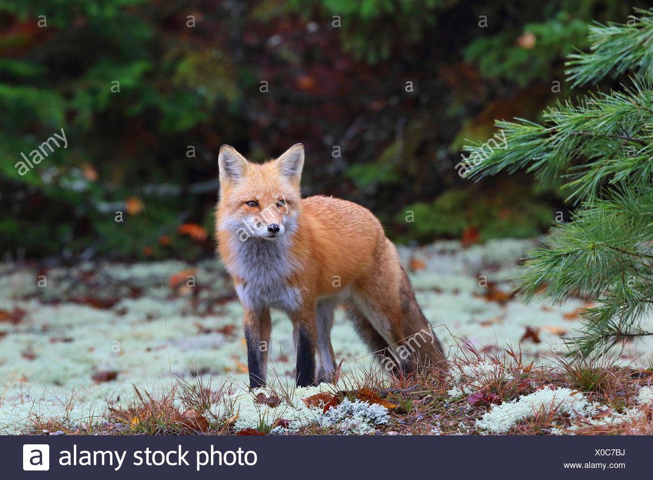 red fox (Vulpes vulpes), stands at forest edge, Canada, Ontario, Algonquin Provincial Park - Stock Image