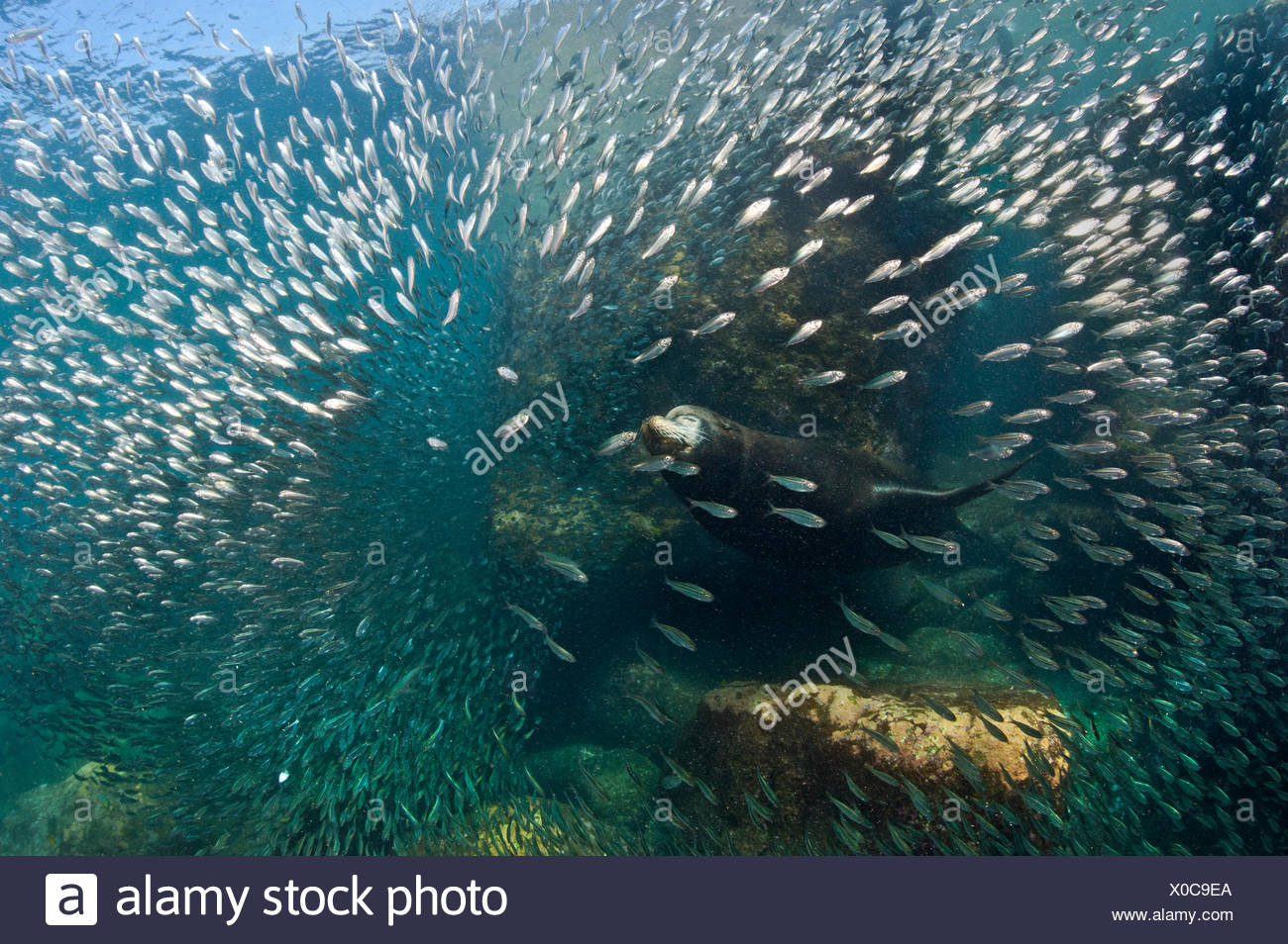 A bull California sealion (Zalophus californianus) bursting through a school of baitfish in the shallows. Los Isotes, La Paz, Mexico. Sea of Cortez, East Pacific Ocean. - Stock Image