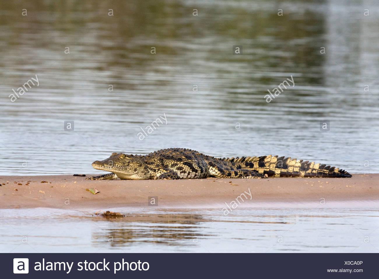 Nile crocodile (Crocodylus niloticus), resting on a sandbank at the Kawango River, Namibia, Mahango National Park - Stock Image