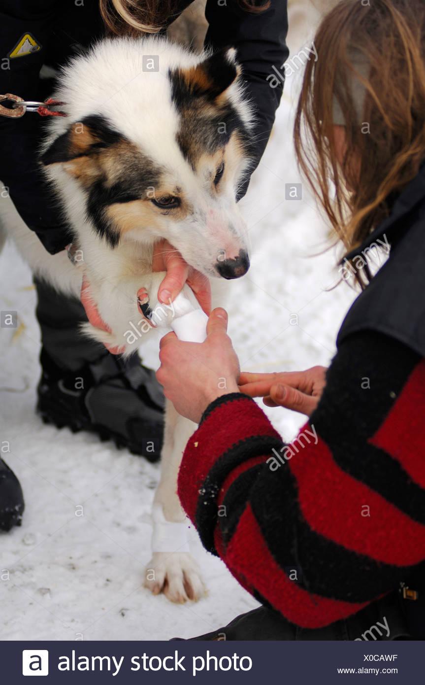 Musher taping husky paw Stock Photo