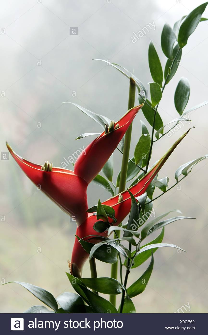 heliconia pendula - Stock Image