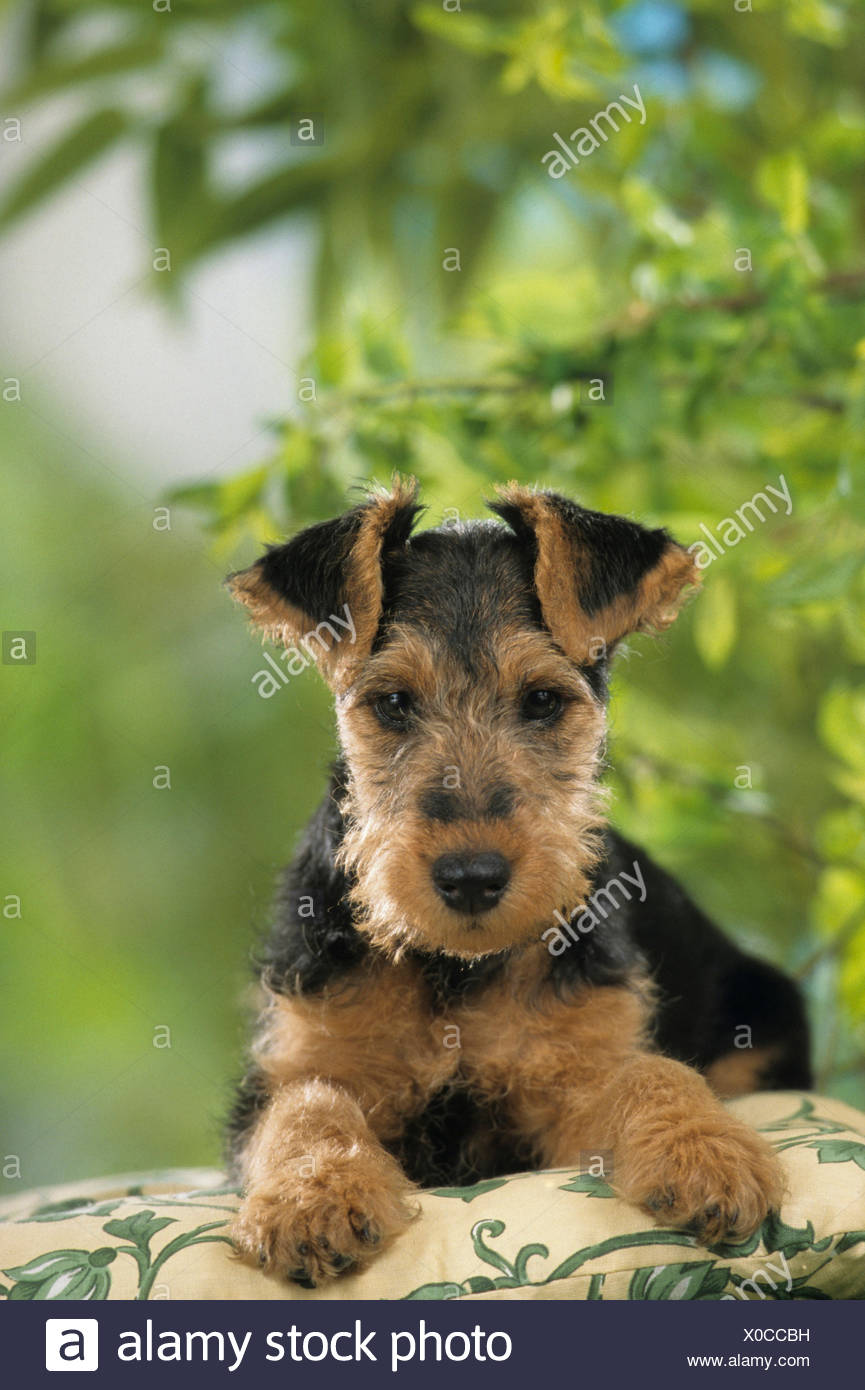 Welsh Terrier Puppy lying cushion Germany - Stock Image