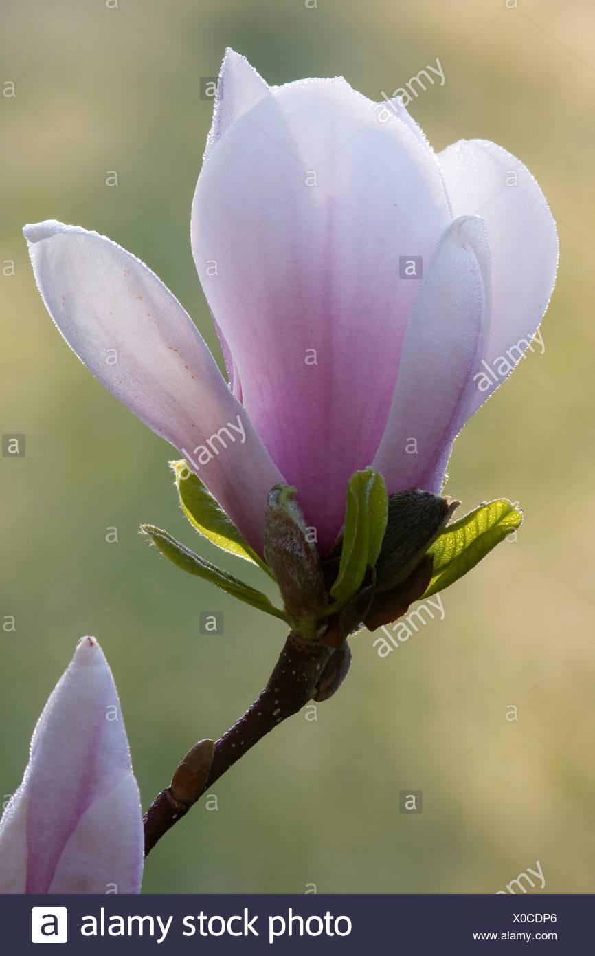Magnolia (Magnolia) Stock Photo