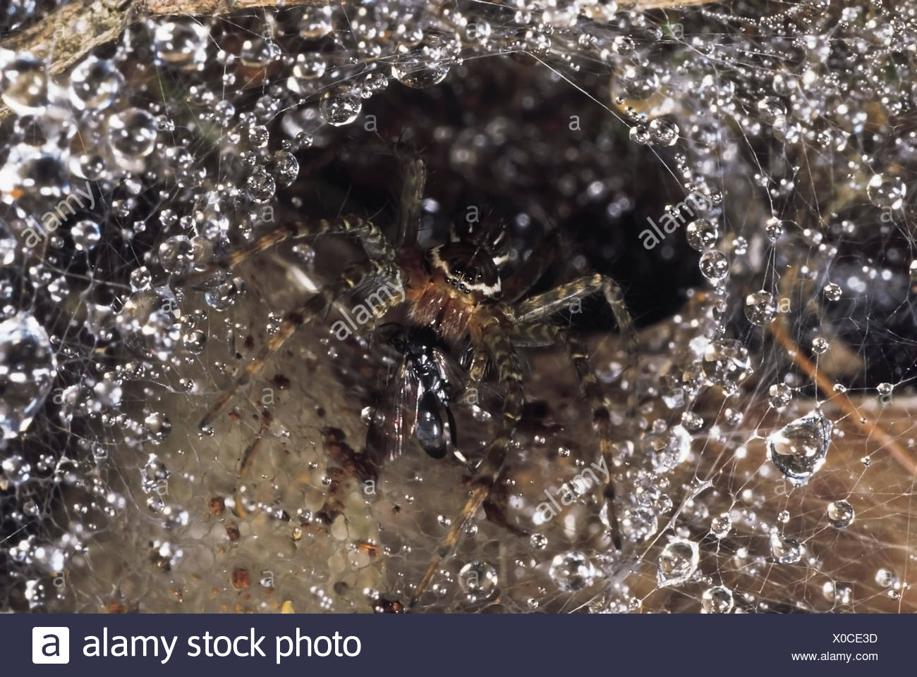 Funnel-web spider. This spider has a wasp in its jaws.Seven of its eight eyes are visible. Valvan lake shores, Maharashtra, India. Stock Photo