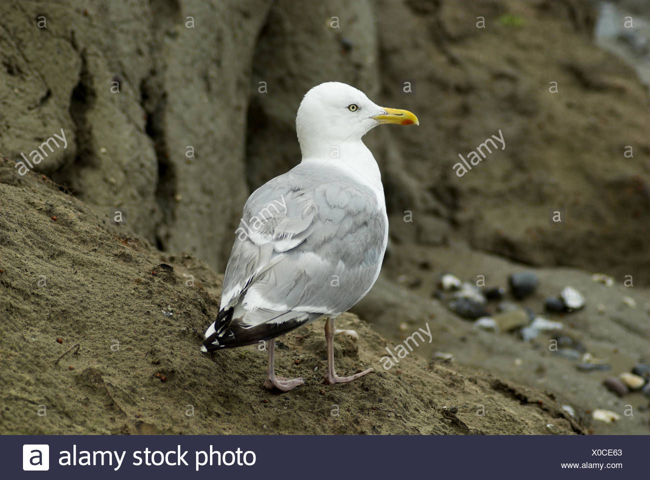 Silver gull, Larus argentatus, bird, bird's kind, the Baltic Sea, Germany, Darss, Ahrenshoop, Laridae, animal, beak, only, sea bird, fish country, Mecklenburg-West Pomerania, gull, whole body, - Stock Image