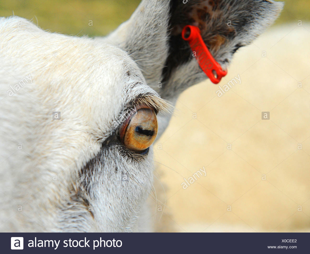 A close-up of a sheep's eye - Stock Image