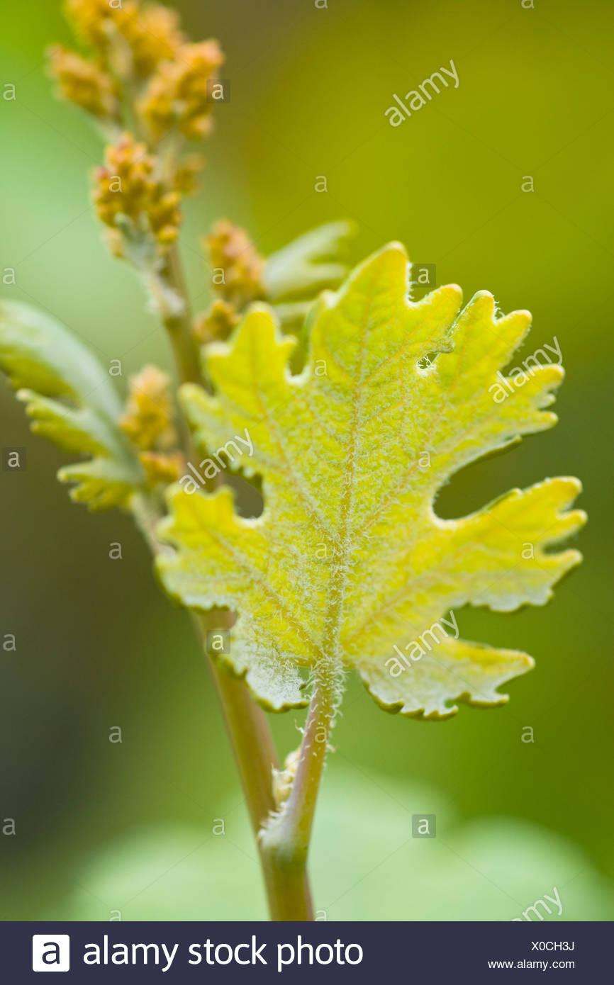 Hacleaya Cordata, Plume Poppy. Lancashire - Stock Image