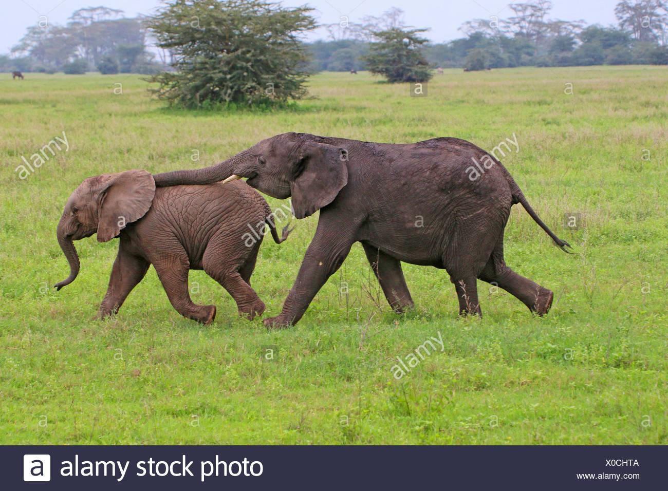 African elephant (Loxodonta africana), two playing infants, Tanzania, Serengeti National Park - Stock Image